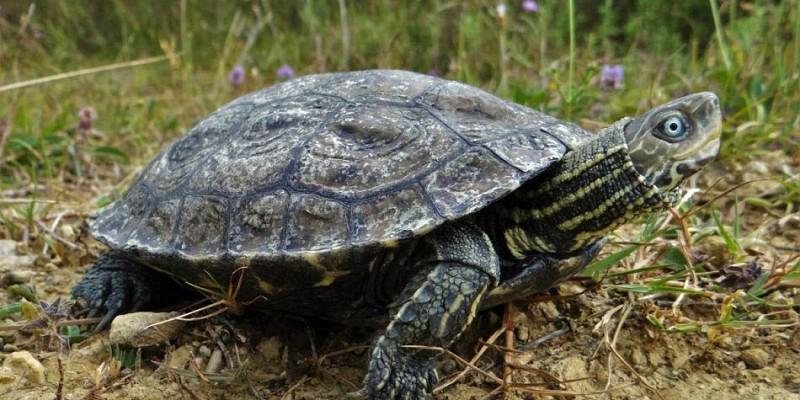 rijecna-kornjaca.jpg