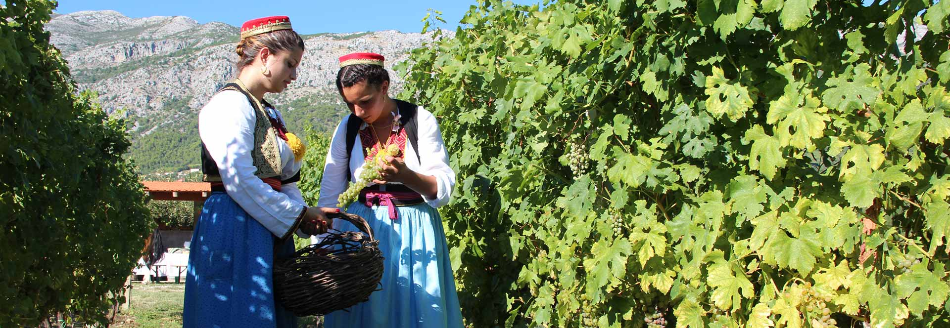 Konavle grape picking